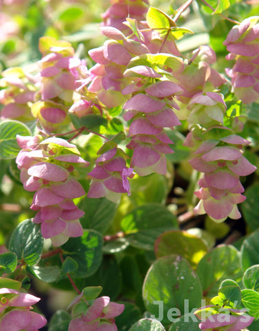 Jekkapedia: Kent Beauty Oregano
