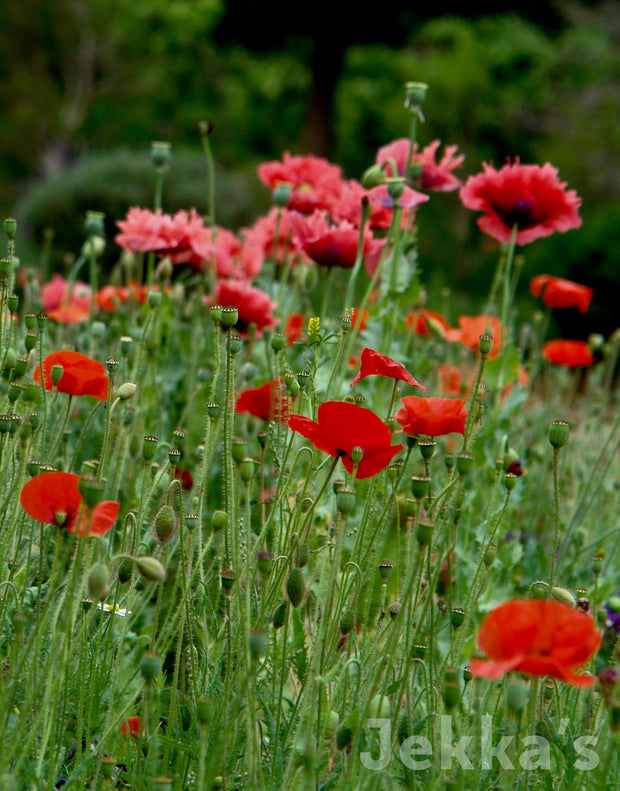 Jekka's: Field Poppy