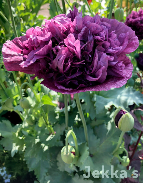 Jekka's: Poppy (Papaver Paeony Farm Poppy)
