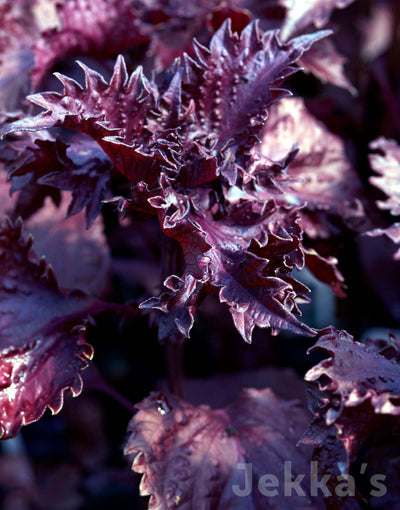 Jekkapedia: Purple Shiso