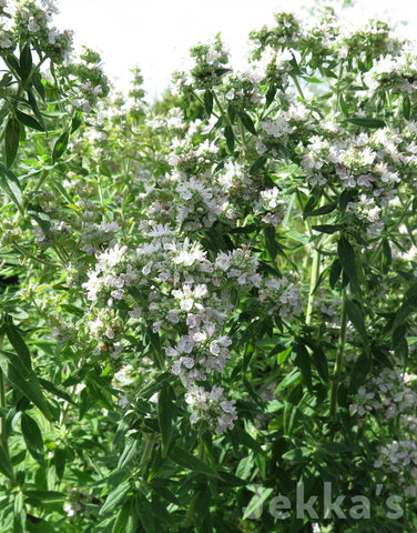 Jekkapedia: Mountain Mint