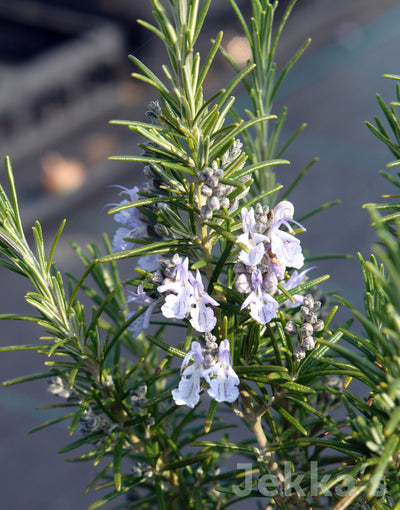 Jekkapedia: Rosemary