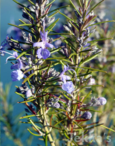 Jekka's: Rosemary Beneden Blue (Salvia rosmarinus (Angustifolia Group) 'Beneden Blue')