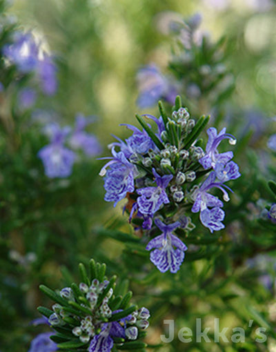Jekkapedia: Rosemary Fota Blue