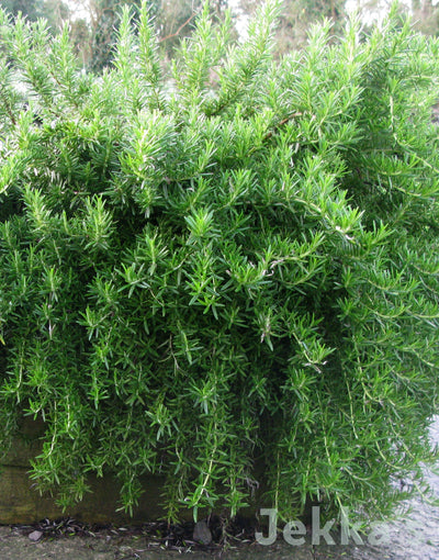 Jekkapedia: Rosemary Prostrate