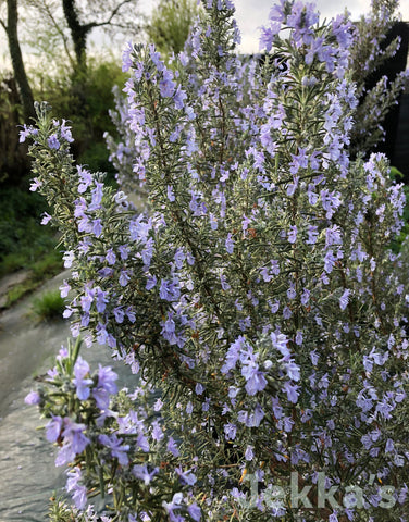 Jekkapedia: Rosemary Sissinghurst Blue