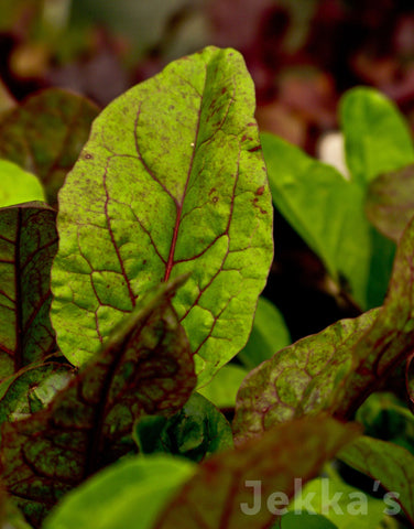 Jekkapedia: Red Veined Sorrel