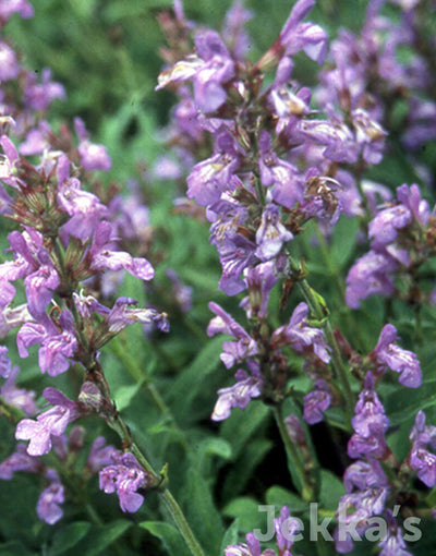 Jekkapedia: Narrow Leaved Sage