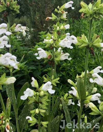 Jekka's: White Flowering Sage (Salvia officinalis 'Albiflora')