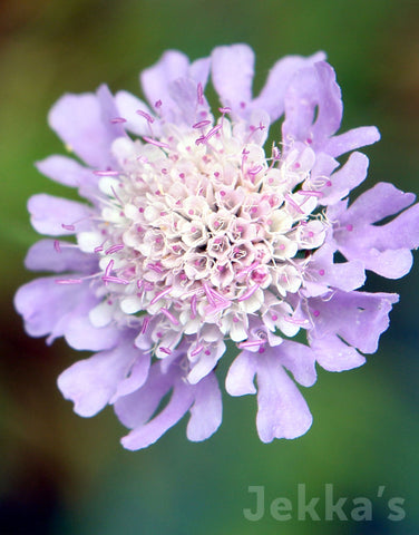Jekkapedia: Small Scabious