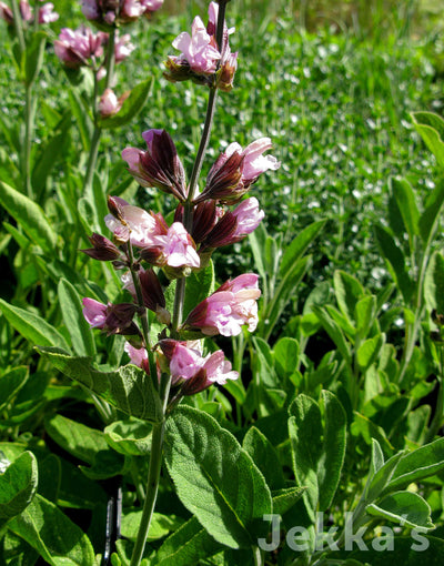 Jekkapedia: Pink Flowering Sage