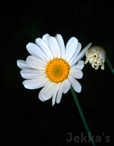 Jekkapedia: Pyrethrum