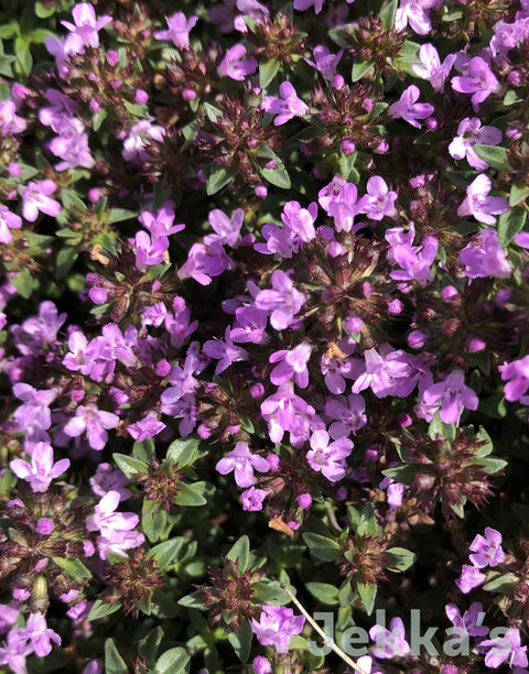 Jekka's: Jekka's Bee Haven Thyme (Thymus 'Jekka's Bee Haven')