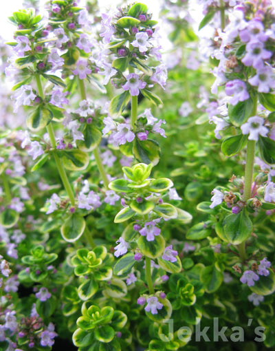 Jekkapedia: Golden Lemon Thyme