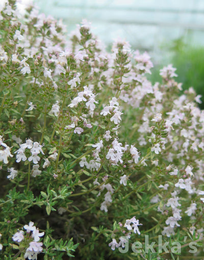 Jekkapedia: Orange Scented Thyme