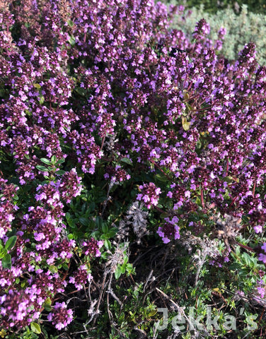 Jekkapedia: Red Start Thyme