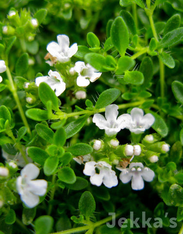 Jekkapedia: Creeping White Thyme