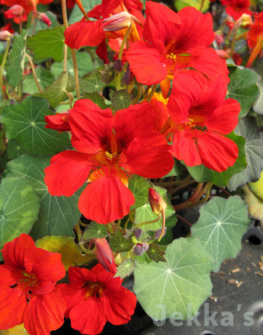 Jekkapedia: Nasturtium Empress of India