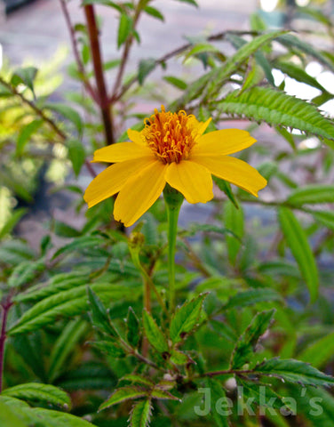 Jekkapedia: Mountain Marigold
