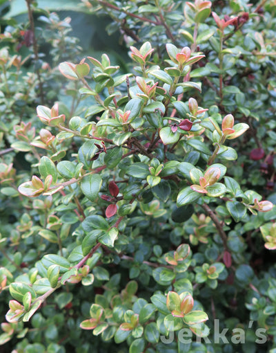 Jekkapedia: Variegated Chilean Guava