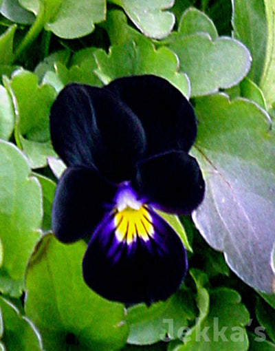 Jekka's: Sawyers Black Violet (Viola 'Back to Black')