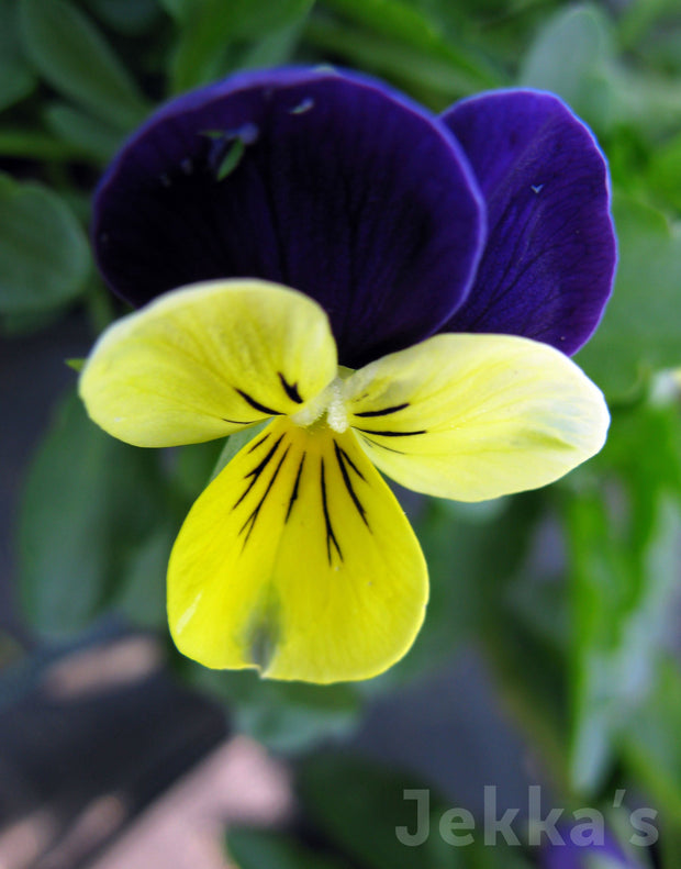 Jekkapedia: Heartsease