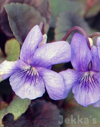 Jekkapedia: Dog Violet
