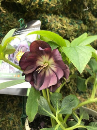 Heavenly Helleborus