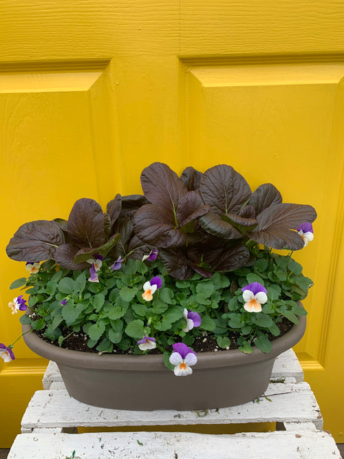 Pansies and Bok choy , pretty and edible! 12 inch oval