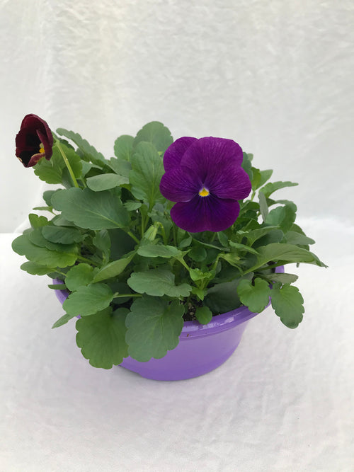 Purple Pansy bowl , 8 inch PANSIES FOR PANCREATIC CANCER campaign
