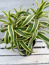 Dracaena 'Song of India', 6-inch