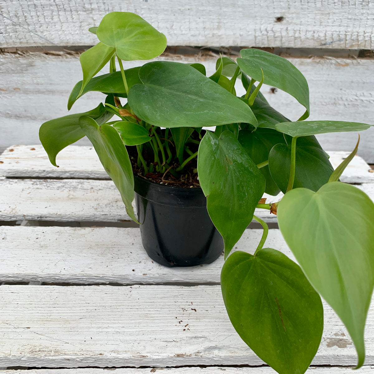 Philodendron Cordatum (Heart Leaf), 4-inch