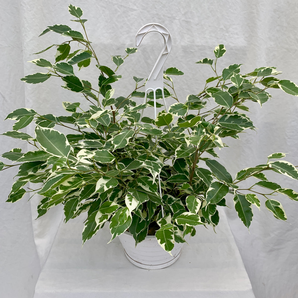 Ficus Starlight, 8-inch Hanging Basket
