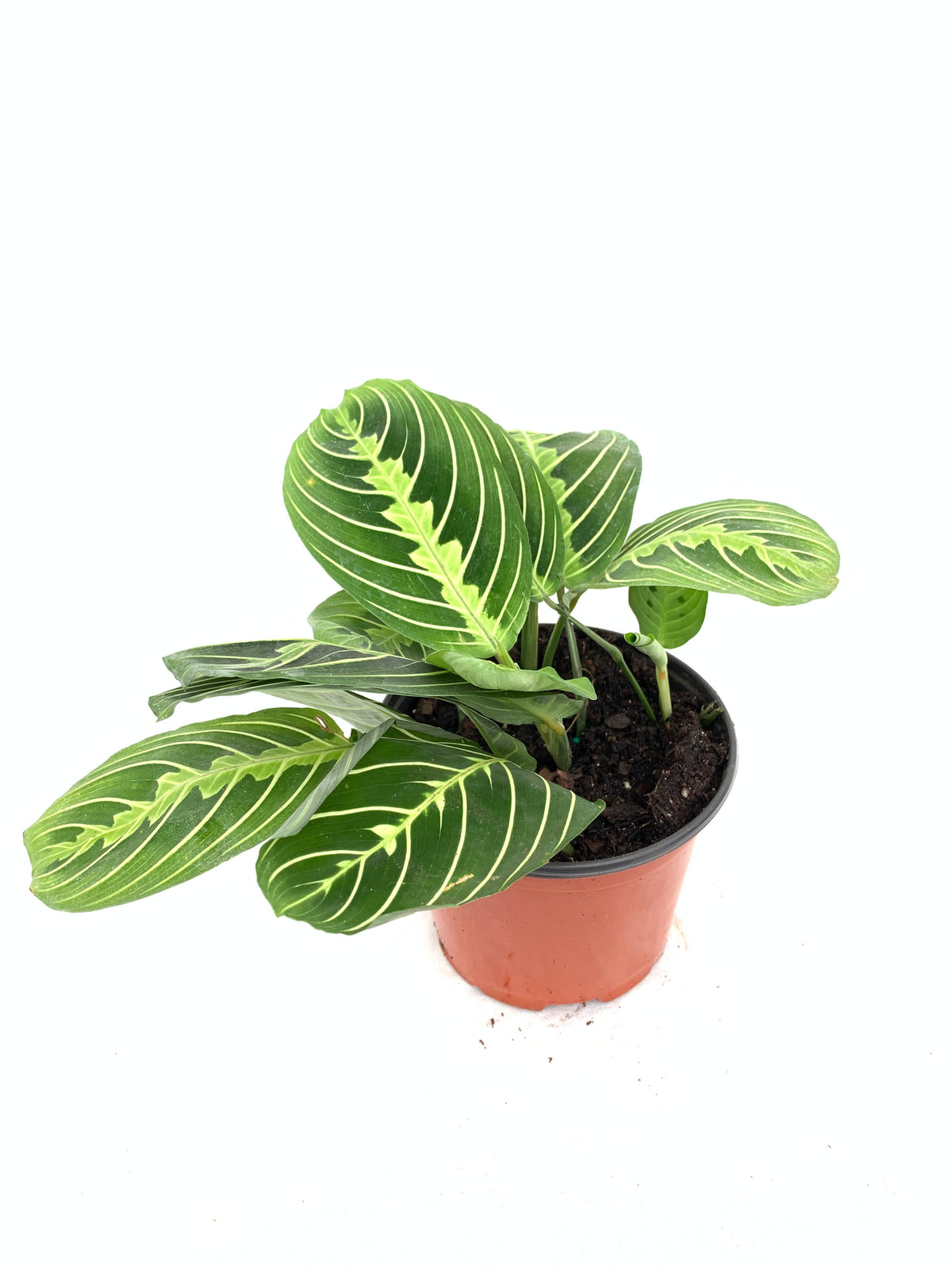 Maranta 'Lemon Lime', 6-inch
