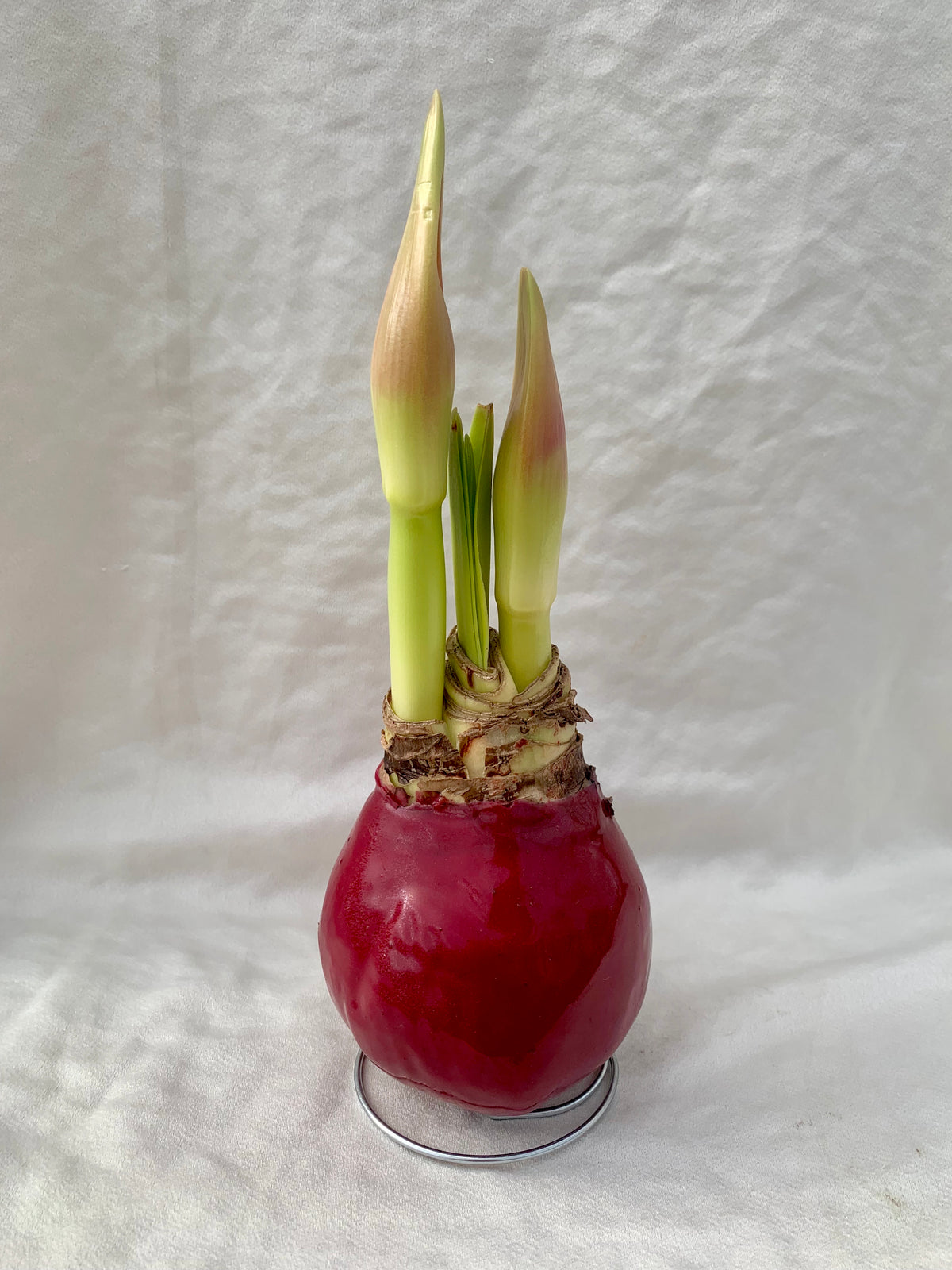 Waxed Amaryllis - Red with red flower