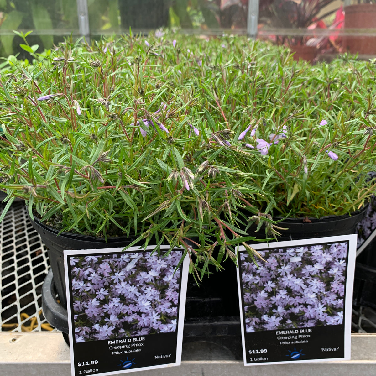 Phlox Subulata 'Emerald Blue Creeping Phlox', 1 gal