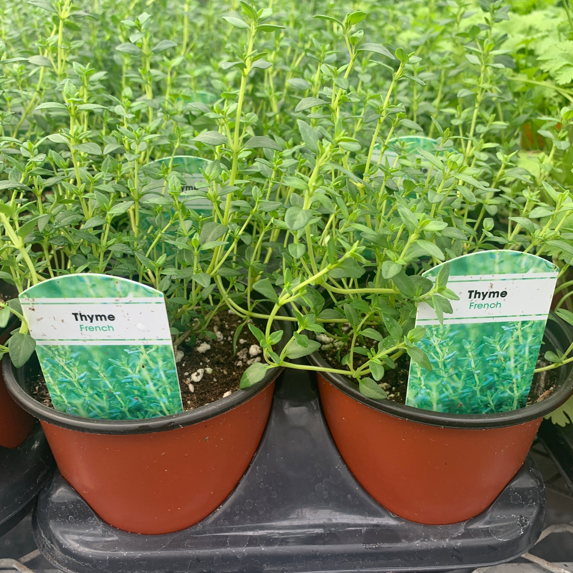 Thyme French 4 Inch Sun Harvest Greenhouses