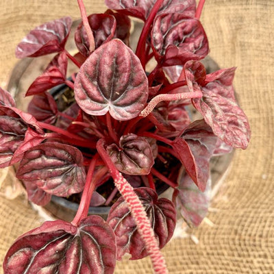 Peperomia 'Shumi Red', 4-inch