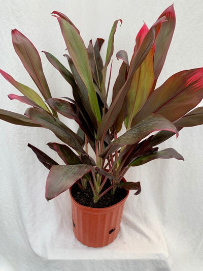 Cordyline 'Florica', 10-inch