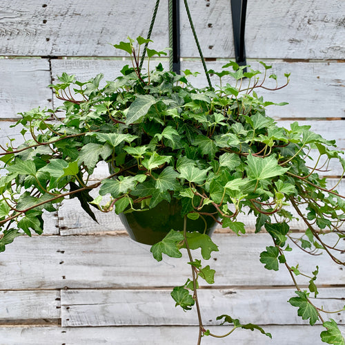 English Ivy (Dark Green), 8-inch Hanging Basket