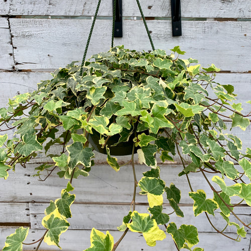 English Ivy (Green-Yellow Variegated), 6-inch Hanging Basket