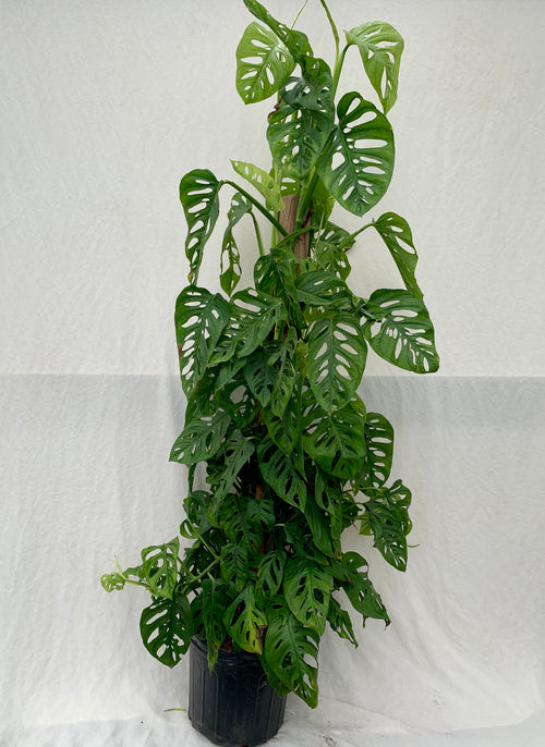Philodendron 'Totem Swiss Cheese', 10-inch