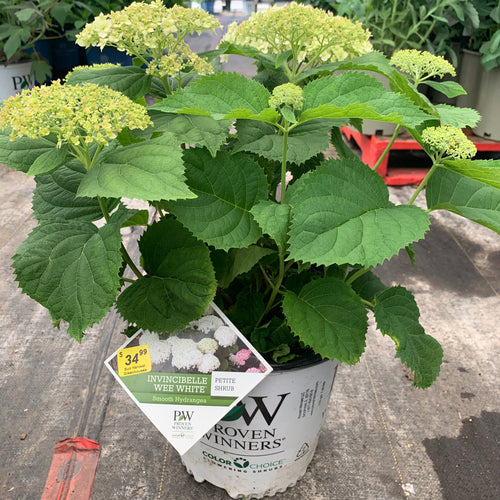Smooth Hydrangea 'Invincibelle Wee White', 2 gal