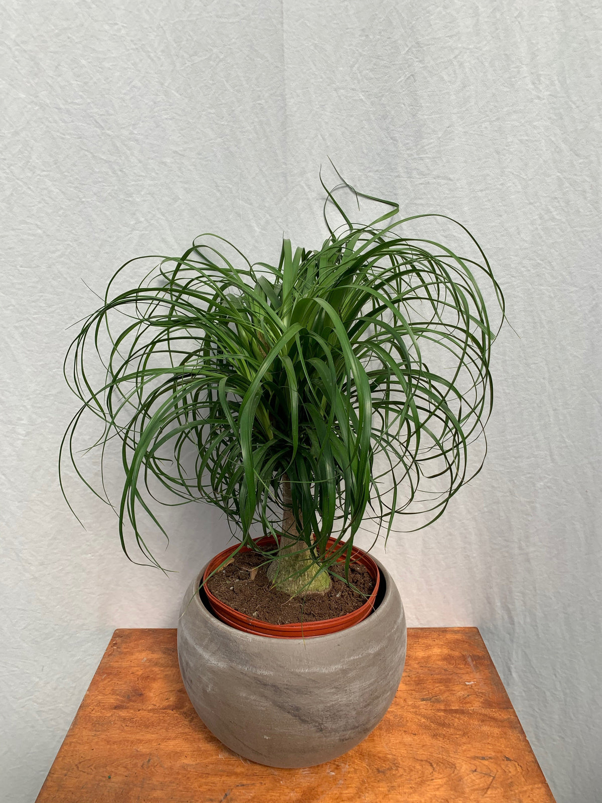 Ponytail Palm 'Beaucarnia recurvata'