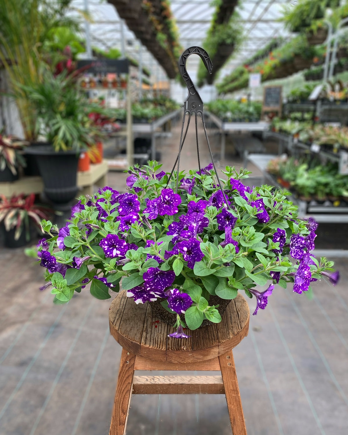 Petunia 'Night Sky' 12 Inch Fibre Hanging Basket