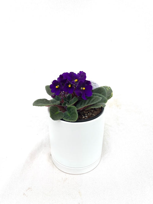 "Shades of Violets (Potted African Violet - 4"")"