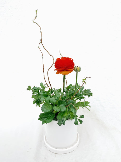 "Happy Days (Potted Ranunculus - 4"")"