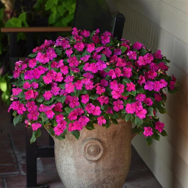 NEW! Beacon Shade Impatiens , 6 pack