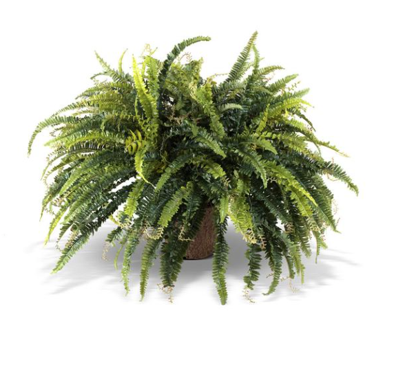 Large Forest Fern