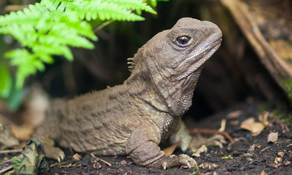 Goodnature_Tuatara